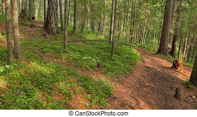Walking trail in the coniferous forest. Russia