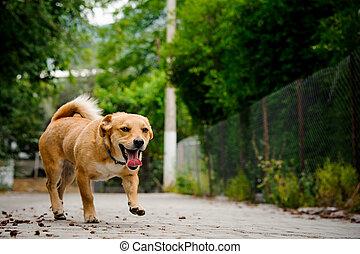 walkpath, asphalte, couleur, chien domestique, gingembre