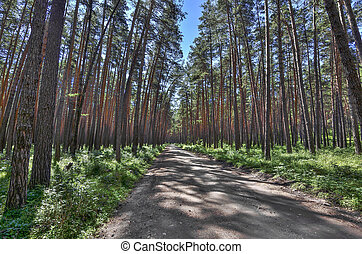 Walkway in summer pine forest at bright summer day, forest coolness