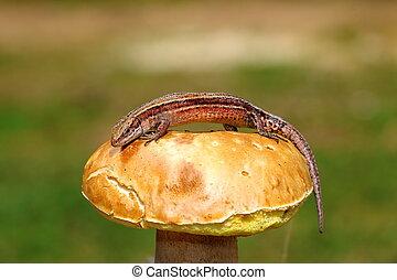 wall balkan lizard on mushroom ( Zootoca vivipara )
