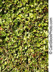 Wall covered by green leaves as background