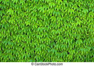 Parthenocissus Tricuspidata - Wall Covered with Green...