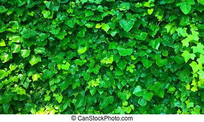 Wall is covered with green leaves that sway in the wind....