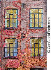 Wall, Ivy and Windows - Ivy covered brick wall with four...