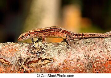 wall lizard on wooden stump - balkan wall lizard basking on...
