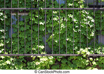 window covered with ivy