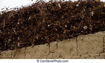 Wall of Cotton Bush On Top of Building - Handheld, panning,...