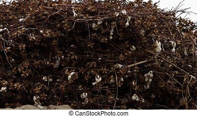 Wall of Cotton Bush - Steady, exterior, medium close up shot...