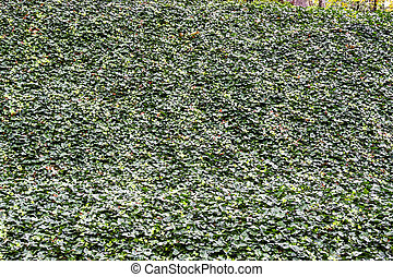 Wall of English Ivy for Background