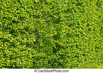 wall of green bushes