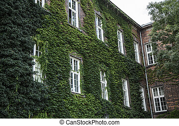 Wall of house with windows and creeper