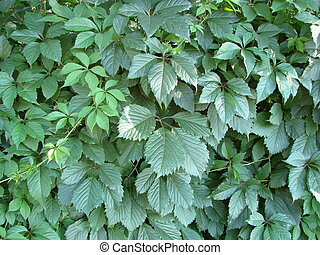 wall of ivy leaves natural green background