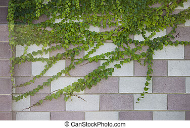 wall of ivy leaves. natural green background.