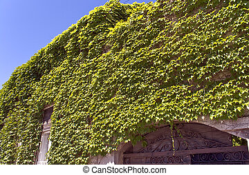 Wall of old house covered with ivy