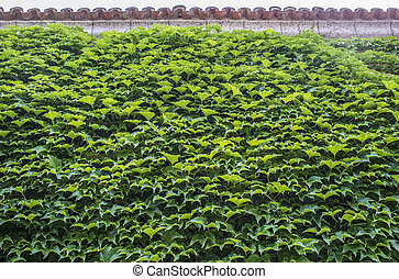 Wall totally covered by green ivy leaves