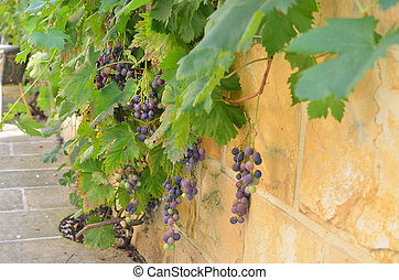 Wall with Vine and Grape