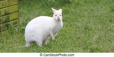 wallaby,  albino