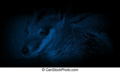 Wallaby By Farm Building In The Dark - Wallaby resting by...