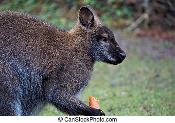 wallaby, carotte, manger, red-necked, zoo