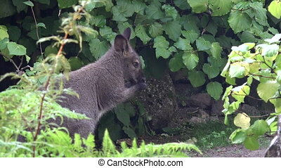 Wallaby cleans his face. wallaby is a small- or mid-sized...