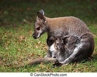 wallaby, com, bebê