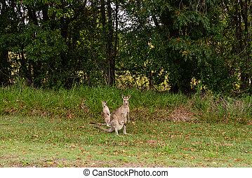 wallaby, e, canguru, em, arbusto, sol, costa, austrália