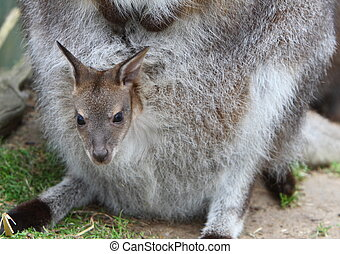 wallaby, joey