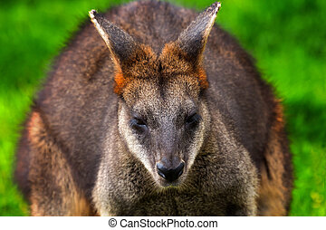Wallaby Macropus agilus, Closeup Head, from Australia,...
