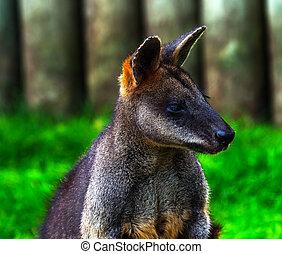 Wallaby Macropus agilus Looking - Wallaby Macropus agilus,...