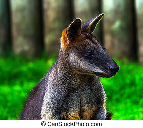 Wallaby Macropus agilus Looking - Wallaby Macropus agilus,...