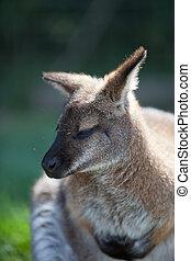 Wallaby close up head shot