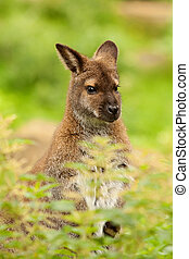 wallaby portrait - wallaby sitting in grass