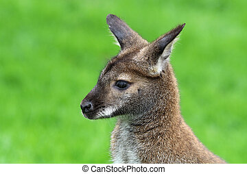 wallaby,  red-necked
