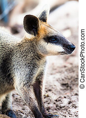 wallaby,  rufogriseus),  closeup,  red-necked,  (macropus