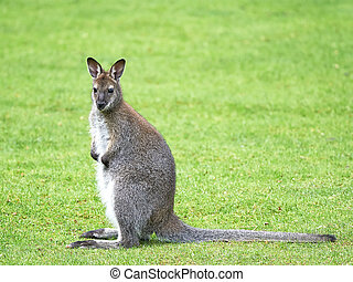 wallaby,  rufogriseus),  red-necked,  (macropus