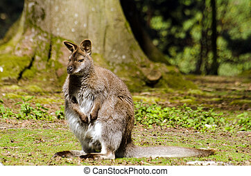 Wallaby - Single wallaby in forest