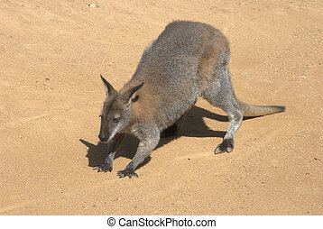 Wallaby standing
