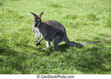 Wallaby - A Wallaby (Macropus Agilis) standing on grassland