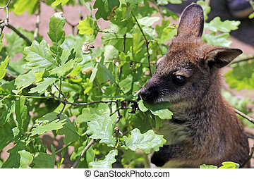 wallaby eating