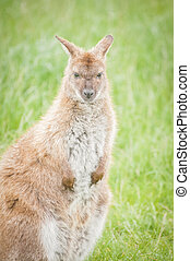 wallaby - young wallaby in a grassland environment