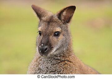 wallaby - Wallaby