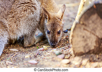 Wallaby - Bennett's Wallaby enjoys leisure time