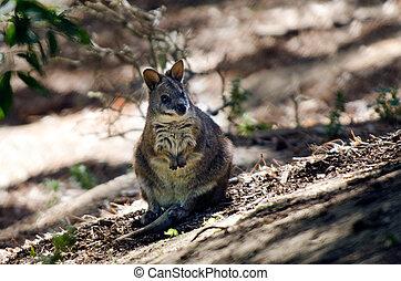 wallaby,  tammar
