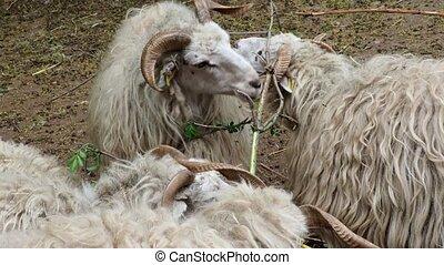 Wallachian sheep. Sheep herd.