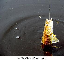 walleye, enganchado, mientras, pesca