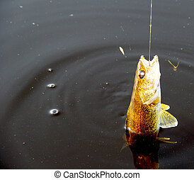 walleye, mentre, agganciato, pesca