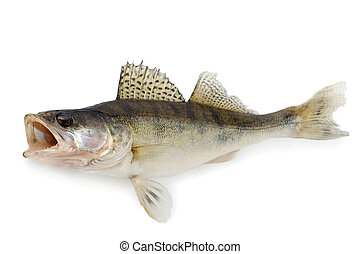 Walleye or Zander isolated over white background