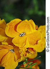 close up of wallflower in garden Erysimum