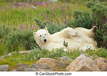 Wallowing Polar Bear 2