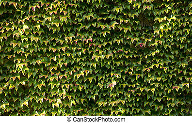 Walls with leaves of Boston Ivy (Parthenocissus...